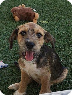 Beagle/Standard Schnauzer Mix Puppy for adoption in Orange, California - Joe