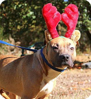 Boxer/American Pit Bull Terrier Mix Dog for adoption in Glastonbury, Connecticut - Bobby Joe