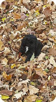 Poodle (Standard) Puppy for adoption in Racine, Wisconsin - Manzana