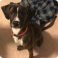 Adopt A Pet :: Chelsea - Lima, PA