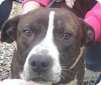 Pit Bull Terrier Mix Dog for adoption in Dayton, Ohio - Rocket