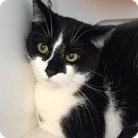 Domestic Shorthair Cat for adoption in Divide, Colorado - Steve Martin