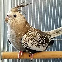 Adopt A Pet :: Gizmo - Tampa, FL