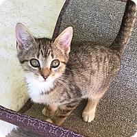 Adopt A Pet :: Brigit - Tampa, FL