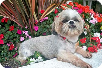 Shih Tzu/Lhasa Apso Mix Dog for adoption in Los Angeles, California - KARINA