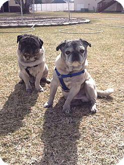 Pug Dog for adoption in Ogden, Utah - Ernie & Wilbur