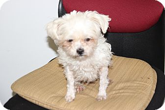 Maltese Dog for adoption in Brattleboro, Vermont - Lexie