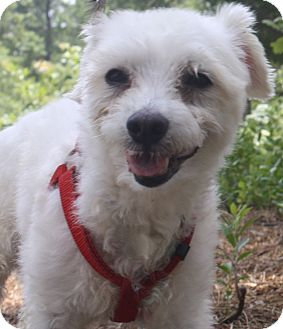 Maltese Mix Dog for adoption in Forked River, New Jersey - Puff