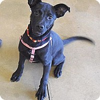 Adopt A Pet :: Chester - Wickenburg, AZ
