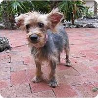 Adopt A Pet :: Violet - Miami, FL