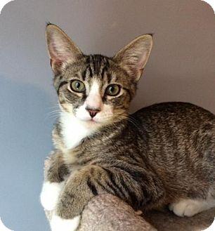 Domestic Shorthair Cat for adoption in O'Fallon, Missouri - Connor