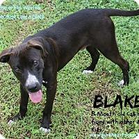 Adopt A Pet :: Blake - Tampa, FL
