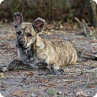 Adopt A Pet :: Darby - Weeki Wachee, FL