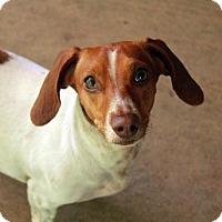 Adopt A Pet :: Little Girl - Waco, TX