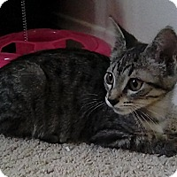 Domestic Shorthair Cat for adoption in Pasadena, California - Cookie