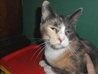 Calico Cat for adoption in Pensacola, Florida - Isabella