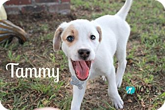 Labrador Retriever/Pointer Mix Puppy for adoption in Ocala, Florida - Tammy
