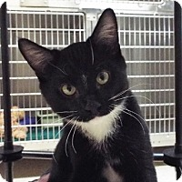 Domestic Mediumhair Kitten for adoption in Grants Pass, Oregon - Ziggy