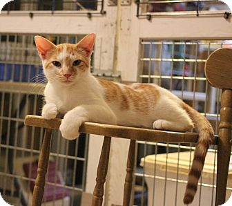 Domestic Shorthair Kitten for adoption in Carlisle, Pennsylvania - Manny
