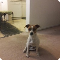Adopt A Pet :: Randy - Las Vegas, NV