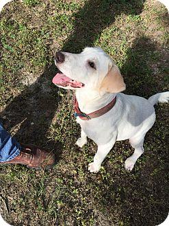 Labrador Retriever Mix Dog for adoption in Redmond, Washington - Annie