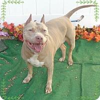 Pit Bull Terrier/American Pit Bull Terrier Mix Dog for adoption in Marietta, Georgia - MAVIS