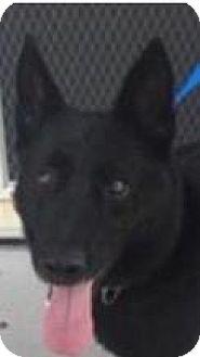 German Shepherd Dog Dog for adoption in Leesville, South Carolina - Sax