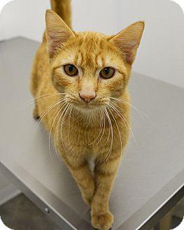 Domestic Shorthair Cat for adoption in Springfield, Illinois - Logan