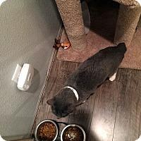Adopt A Pet :: Jack Bower - North Las Vegas, NV