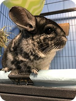 Chinchilla for adoption in Patchogue, New York - Prince