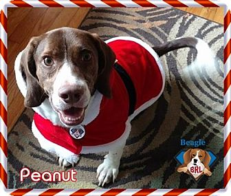 German Shorthaired Pointer/Beagle Mix Dog for adoption in Yardley, Pennsylvania - Peanut