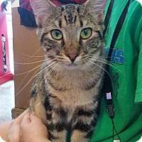 Domestic Shorthair Cat for adoption in Fort Pierce, Florida - Antoine (Tony)