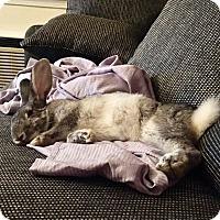 Adopt A Pet :: Violet - Conshohocken, PA