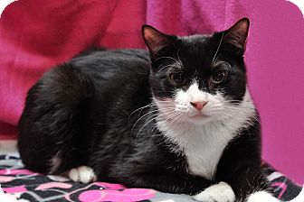 Domestic Shorthair Cat for adoption in Wayne, New Jersey - Ella