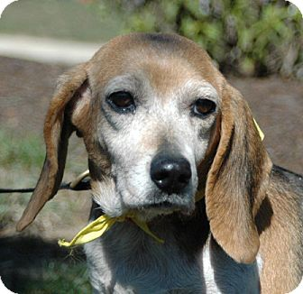 Beagle Dog for adoption in Waldorf, Maryland - Bonnie Baldwin