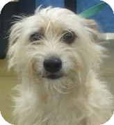 Terrier (Unknown Type, Small) Mix Dog for adoption in Orlando, Florida - Gill#5F