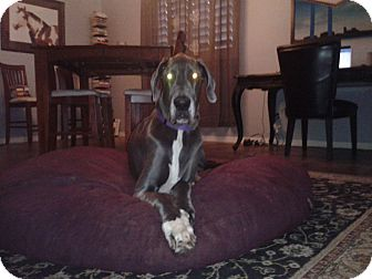 Great Dane Dog for adoption in Phoenix, Arizona - Fame