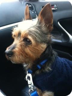 Yorkie, Yorkshire Terrier Dog for adoption in Avon, Ohio - JOE