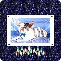 Boston Terrier Dog for adoption in Alabaster, Alabama - Snuggles