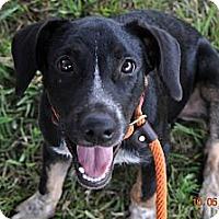 Adopt A Pet :: Comet - New orleans, LA