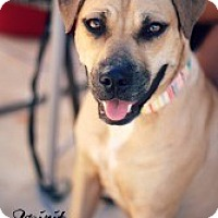 Adopt A Pet :: Spirit - Justin, TX