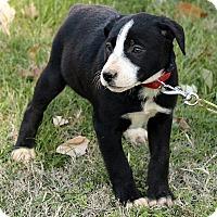 Adopt A Pet :: Enya - Staunton, VA
