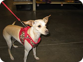 Jacksonville Nc Chihuahua Italian Greyhound Mix Meet Chloe A Dog For Adoption