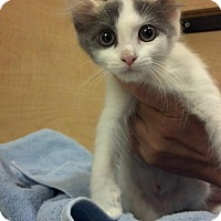 Adopt A Pet :: BAMBI-PetsMart Kitty - Scottsdale, AZ