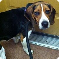 Adopt A Pet :: Moss - Saranac Lake, NY