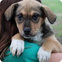 Adopt A Pet :: Sienna - Harmony, Glocester, RI