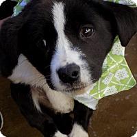 Adopt A Pet :: Scott - Apple Valley, CA