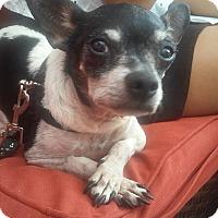 Adopt A Pet :: Dobby - S. Pasedena, FL