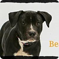 Adopt A Pet :: Beau - Old Saybrook, CT