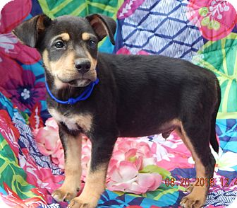 German Shepherd Dog/Rottweiler Mix Puppy for adoption in Sussex, New Jersey - Copper (7 lb) Video!